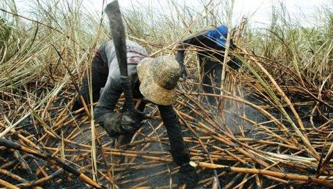 The dilemma of growing sugarcane in KwaZulu-Natal