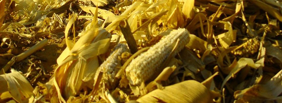 Cob chic: as cellulosic biofuels arrive, the humble corn cob reigneth anew