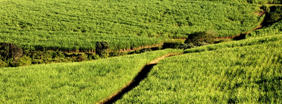 Australia: Sugar set for 'Energycane' Reinvention